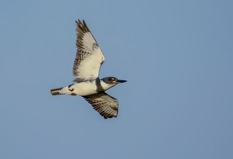 MaleBandedKingfisher-12-3-16-SJS-001