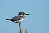 BeltedKingfisher-LAWD-FL-2-10-17-SJS-05