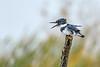 BeltedKingfisher(male)-LAWD-11-11-20-sjs-004