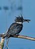 BeltedKingfisher-LAWD-1-21-19-SJS-008
