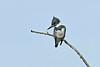 BeltedKingfisher(male)-LAWD-12-8-2018-SJS-001