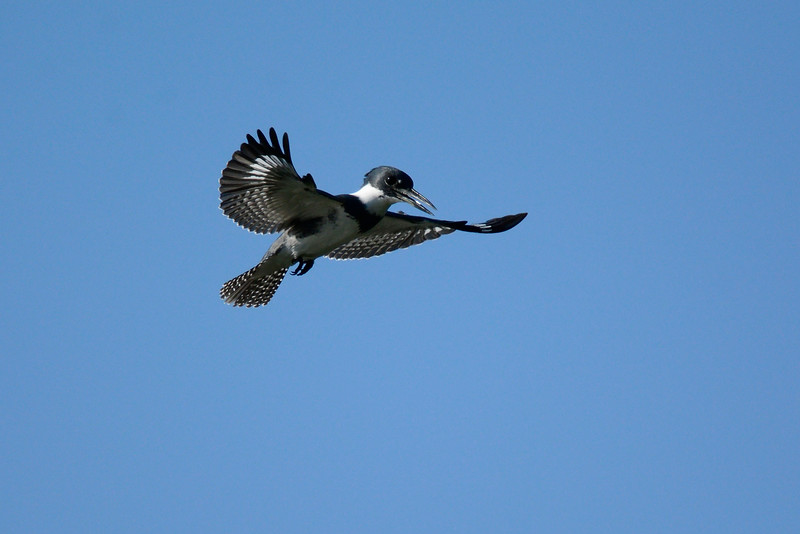 Kingfisher-Male-VeiroWetlands-11-16-SJS-005