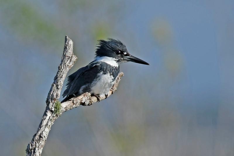 Kingfisher-LAWD-2-11-18-SJS-001