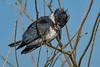BeltedKingfisher-LAWD-1-21-19-SJS-004