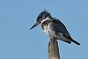 BeltedKingfisher(male)-LAWD-12-23-18-SJS-007