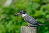BeltedKingfisher-LAWD-Fl-3-17-17-SJS-016