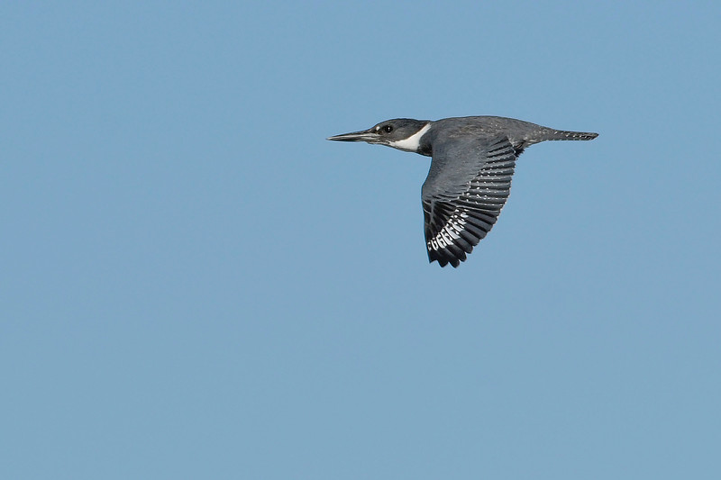 BeltedKingfisher-EmeraldaMarsh-1-6-20-SJS-001