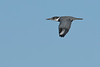 BeltedKingfisher-EmeraldaMarsh-1-6-20-SJS-001