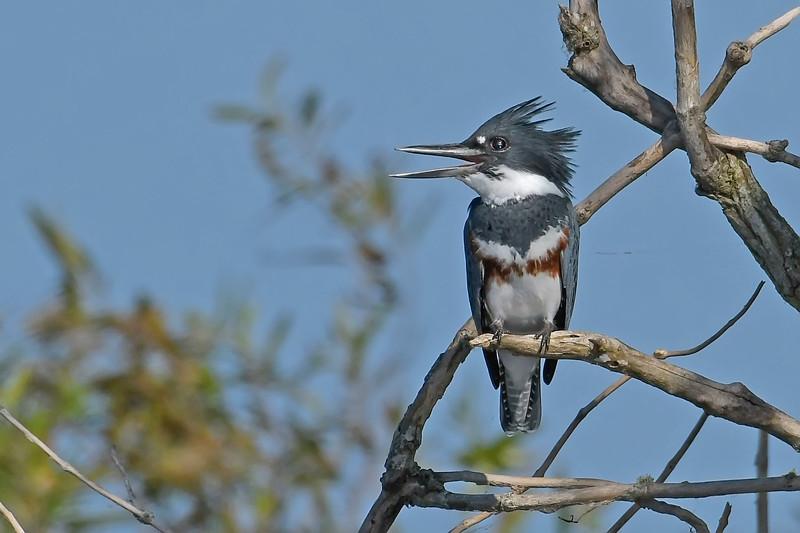 BeltedKingfisher(female)-LAWD-10-14-19-SJS-001