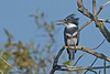 BeltedKingfisher(female)-LAWD-10-14-19-SJS-001