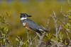 BeltedKingfisher(female)-MerrittIslandNWR-12-29-20-sjs-001