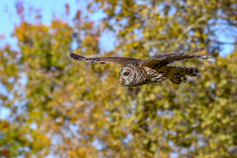 BarredOwl-EmeraldaMarsh-11-24-19-SJS-022