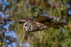 BarredOwl-EmeraldaMarsh-11-24-19-SJS-029