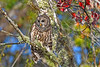BarredOwl-EmeraldaMarsh-11-24-19-SJS-007