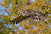 BarredOwl-EmeraldaMarsh-11-24-19-SJS-028