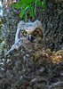 GreatHornedOwl-Owlet-LYE-3-25-19-SJS-005
