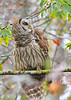 BarredOwl-AlligatorRiverNWR-10-23-20-sjs-02