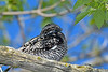 Nighthawk-MageeMarsh-5-7-18-SJS-001