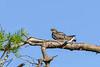 CommonNighthawk-OcalaNF-7-2-20-sjs-004