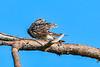 CommonNighthawk-OcalaNF-7-2-20-sjs-002