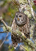 BarredOwl-EmeraldaMarsh-11-24-19-SJS-008