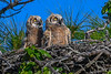 GreatHornedOwlets-FortDeSotoPK-4-12-19-SJS-025