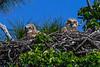 GreatHornedOwlets-FortDeSotoPK-4-12-19-SJS-029