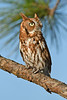 ScreechOwl-AvianReconditioningCenterFL-11-11-17-SJS-008