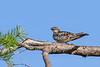 CommonNighthawk-OcalaNF-7-2-20-sjs-006