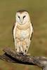 BarnOwl-AvianReconditioningCenterFL-11-11-17-SJS-004