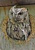 ScreechOwl-GrayPhase-MaumeeBayStatePark-5-18-17-SJS-003