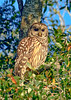 BarredOwl-EmeraldaMarsh-1-8-20-SJS-012