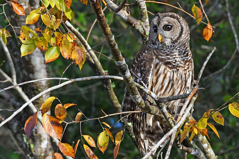 BarredOwl-EmeraldaMarsh-11-24-19-SJS-006