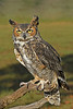 GreatHornedOwl-AvianReconditioningCenterFL-11-11-17-SJS-001