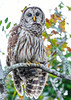 BarredOwl-AlligatorRiverNWR-10-23-20-sjs-08