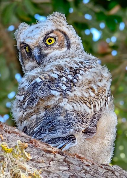 GreatHornedOwl-Owlet-LYE-3-25-19-SJS-004