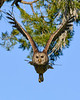 BarredOwl-EmeraldaMarsh-1-8-20-SJS-003