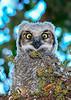 GreatHornedOwl-Owlet-LYE-3-25-19-SJS-001