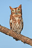 ScreechOwl-AvianReconditioningCenterFL-11-11-17-SJS-005