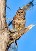 BarredOwl-EmeraldaMarsh-1-8-20-SJS-010