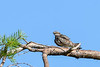 CommonNighthawk-OcalaNF-7-2-20-sjs-001