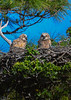 GreatHornedOwlets-FortDeSotoPK-4-12-19-SJS-013