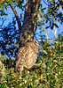 BarredOwl-EmeraldaMarsh-1-8-20-SJS-011