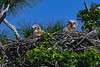 GreatHornedOwlets-FortDeSotoPK-4-12-19-SJS-028