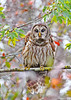 BarredOwl-AlligatorRiverNWR-10-23-20-sjs-04