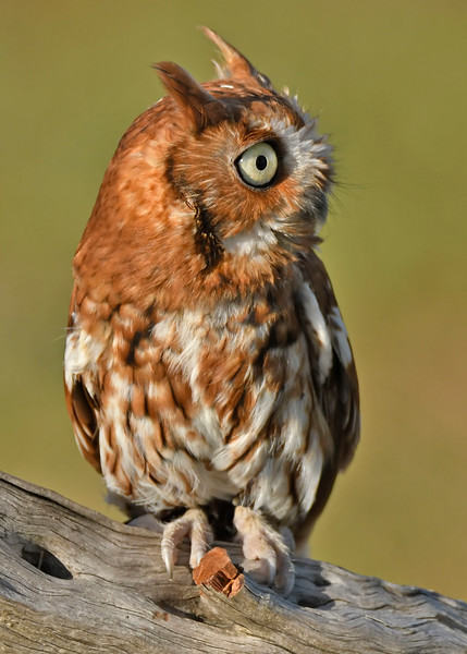 ScreechOwl-AvianReconditioningCenterFL-11-11-17-SJS-012