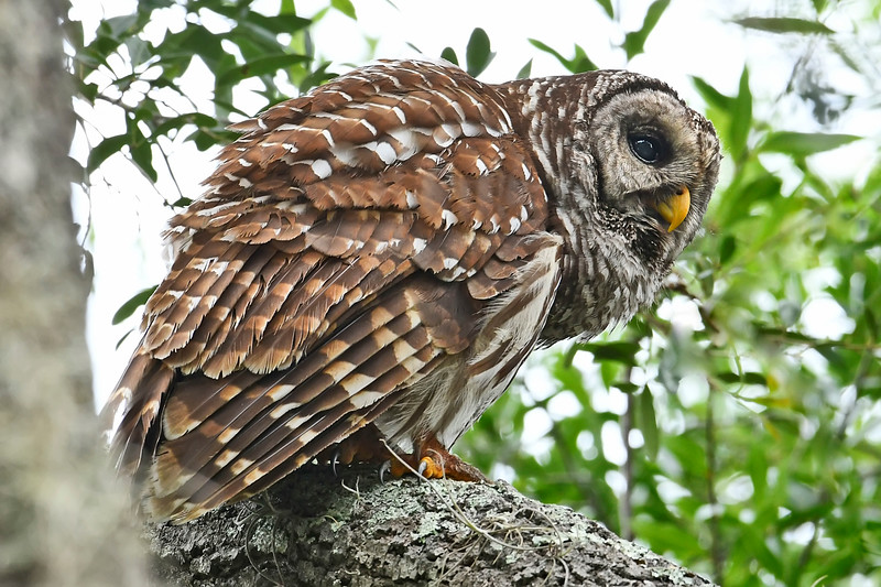BarredOwl-EmeraldaMarsh-5-26-18-SJS-001