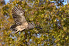 BarredOwl-EmeraldaMarsh-11-24-19-SJS-005