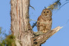BarredOwl-EmeraldaMarsh-1-8-20-SJS-007