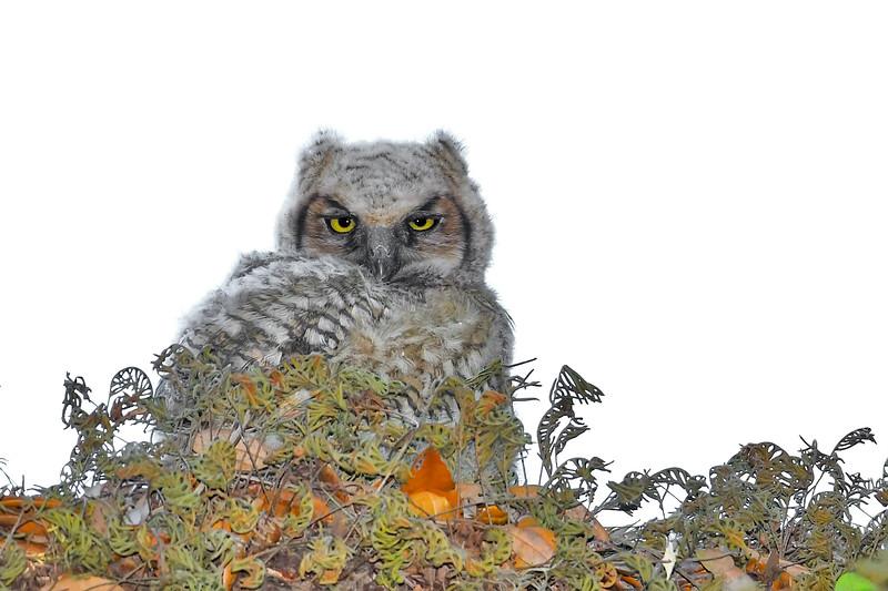 GreatHornedOwl-Owlet-LYE-3-22-19-SJS-003